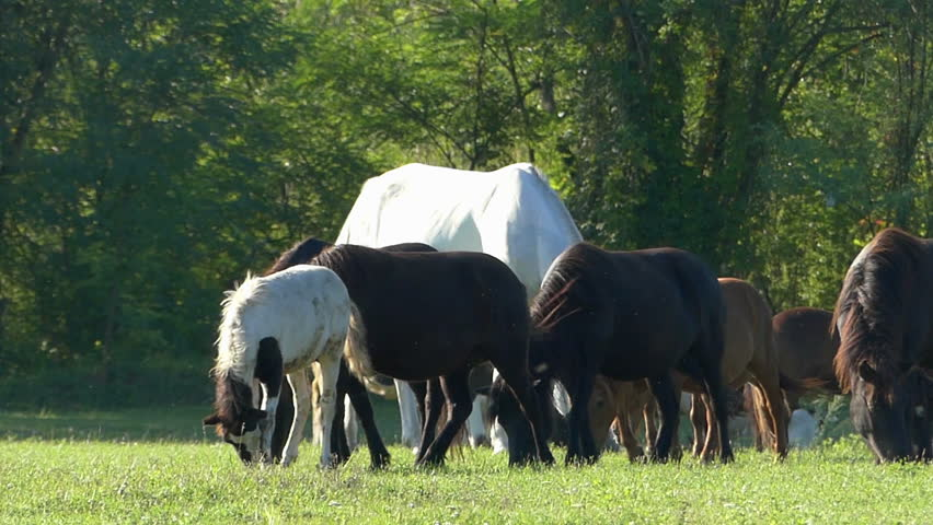 A high horse and many pony horses graze on a lawn