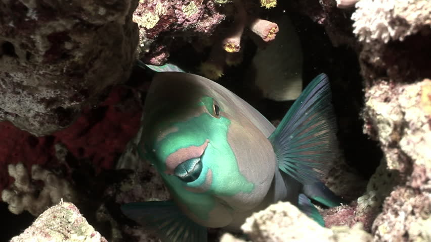 Rusty parrotfish Scarus Ferrugineus peeps out from under coral Red sea. Relax underwate video about Scaridae fish in marine nature of beautiful lagoon.