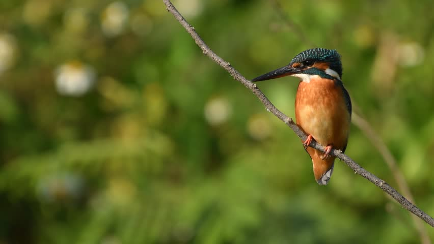 Common Kingfisher Birds in Thailand and Southeast Asia.