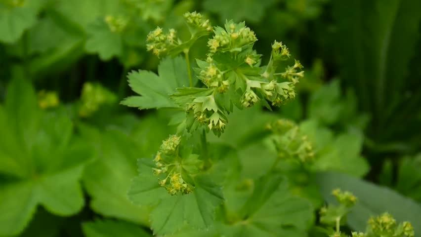 Header of Alchemilla vulgaris