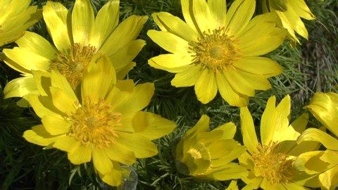 Spring: yellow flowers of pheasant's eye (Adonis wolgensis).