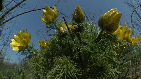 Spring: flowering plant of spring pheasant's eye (Adonis vernalis) in the morning dew against the sky.
