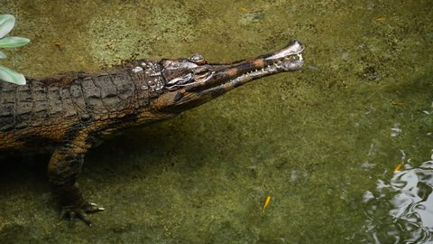 False gharial or Malayan gharial, Sunda gharial or Tomistoma - Tomistoma schlegelii