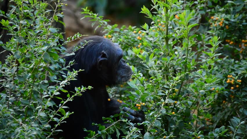 Common chimpanzee between leaves and vegetation - Pan troglodytes