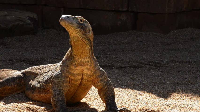 Komodo dragon or Komodo monitor sunbathing - Varanus komodoensis