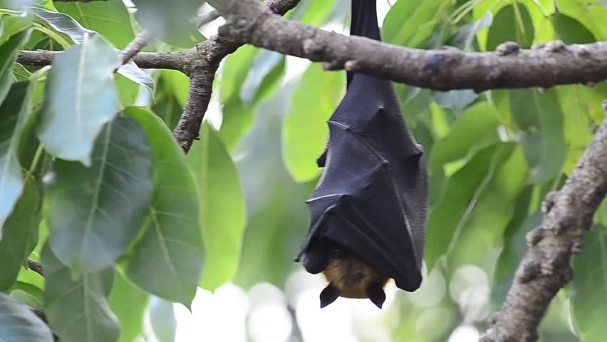 A hanging flying fox on the windy tree with moving leafs. | Shutterstock HD Video #3421520