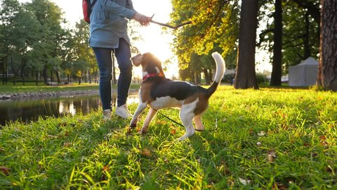 Woman play with young beagle, tease doggy with wooden stick, sunny evening in nice park. Slow motion shot against beautiful bright sun light. Girl weave branch, dog jump and try to catch it