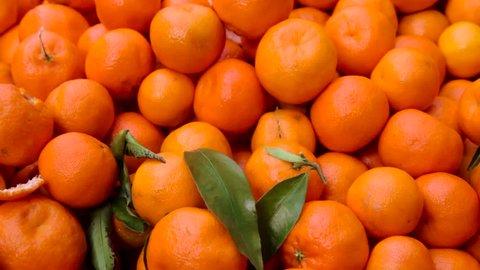 mandarin harvest. tangerines. tangerine harvest