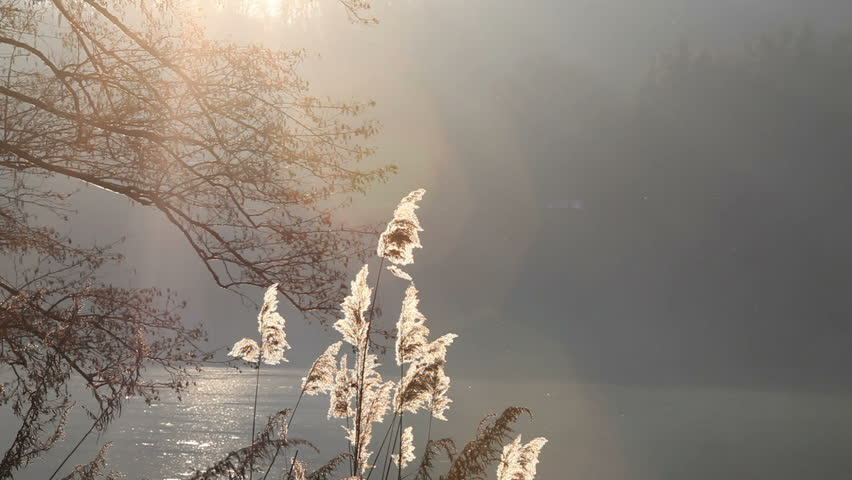 Along the river Ticino, in Italy on the slopes of the Alps, it is normal to find the common reeds. In this video, some common reeds along the river at sunset on a cold winter day.