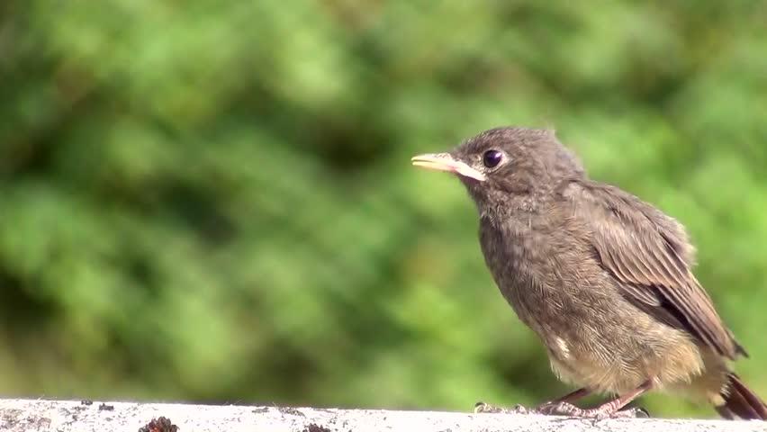 Redstart (Phoenicurus ochruros)