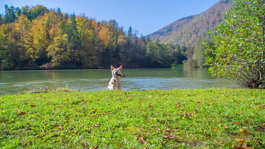 A big white dog brings a wooden stick out of the lake. It's a nice summer day. | Shutterstock HD Video #34465642