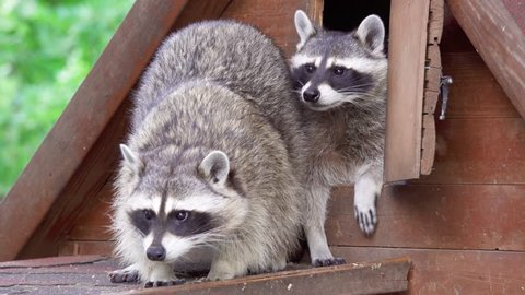 Two cute furry raccoons playing together in wooden house. Funny adorable curious little raccoons in zoo