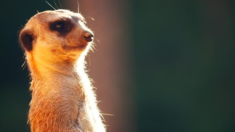 Close up meerkat standing and  watching for hunters. Meerkat are  living in all parts of the Kalahari Desert in Botswana, the Namib Desert of Namibia and southwestern Angola, and in South Africa