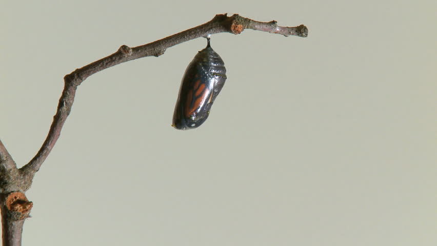 A Monarch butterfly emerges from the chrysalis in TIMELAPSE.