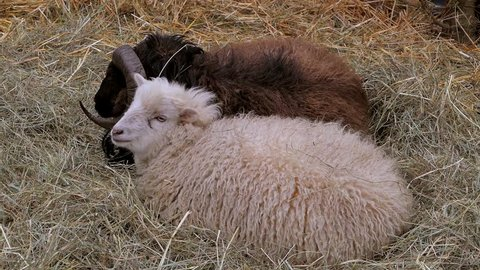 Domestic sheep (Ovis orientalis aries) lie in the straw, sheepfold