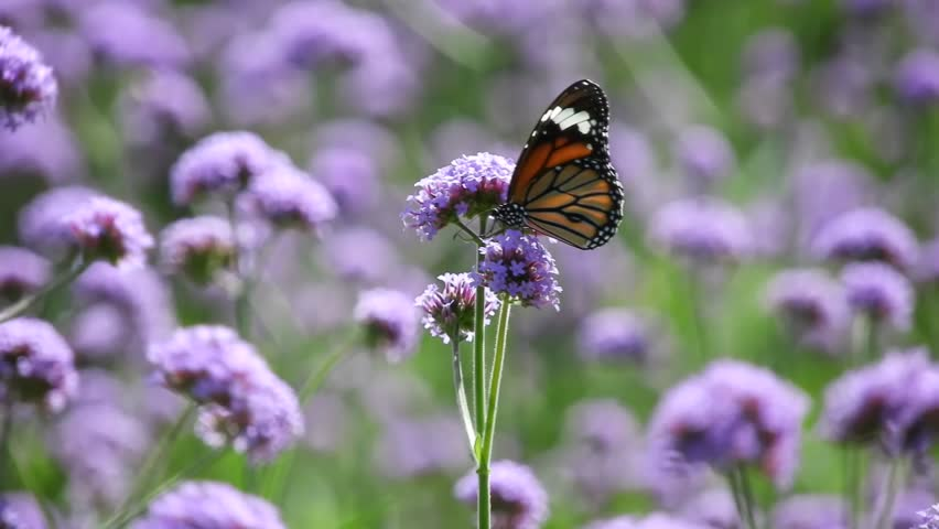 Butterfly with Verbena flower