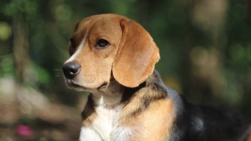 Most Inspiring Video Beagle Adorable Dog - 10  Picture_343818  .resize(height:160)