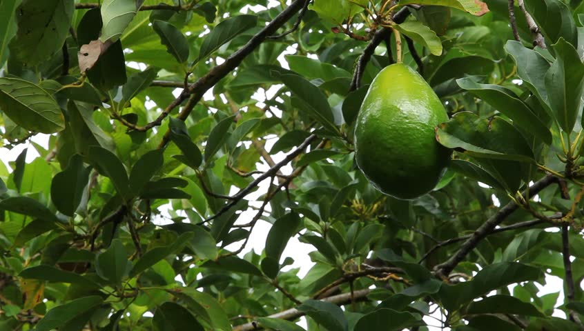 Avocados growing in Florida Orchard