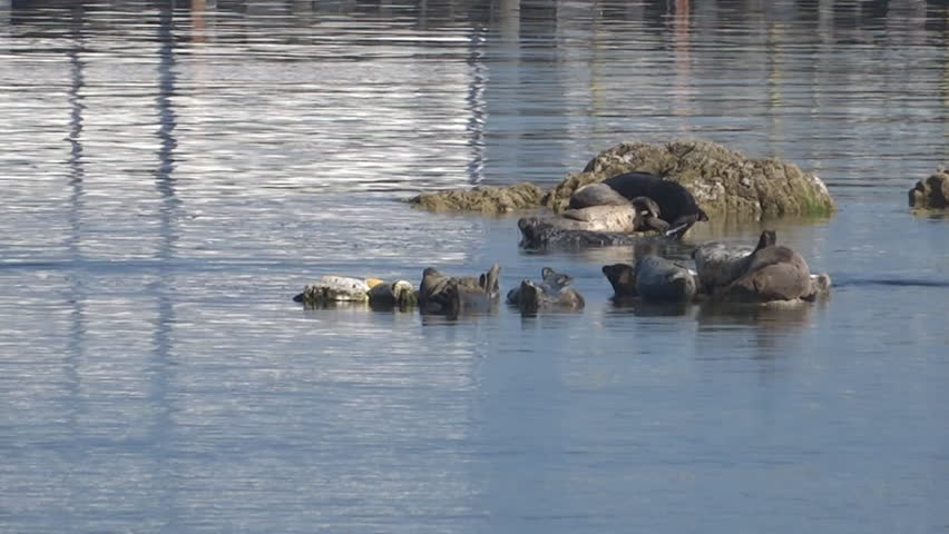 A group of harbor seals sunbathing and resting on rocks. One seal rearranges his position and thus causes a fight with his neighbor and unrest within the group. Whaler Island, Crescent City.