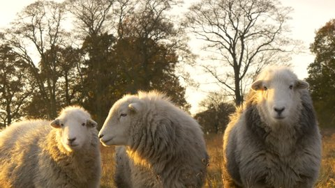 Three Big Fluffy Herdwick White Grey Sheep In England countryside farmers field grazing at sunset in Heard