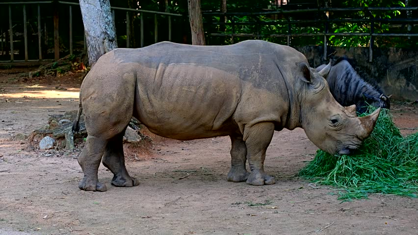 A 4k footage of Southern White Rhinoceros or scientifically named as Ceratotherium simum simum eating grass within captivity in a tropical zoo.
