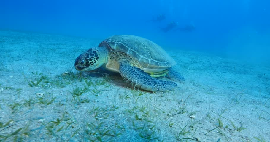 turtle underwater green turtle with remora fish on it air bubbles #34803952