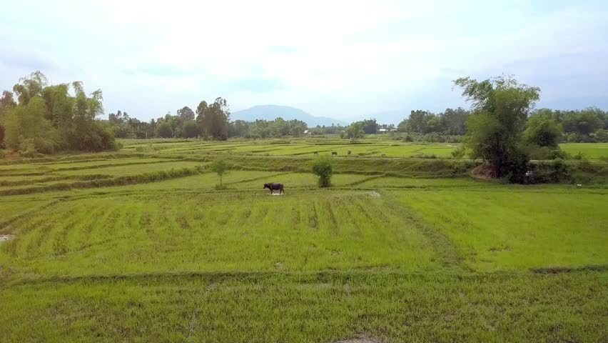 flycam approaches buffalo closely grazing on green rice field near pond against plants distant village and cloudy sky