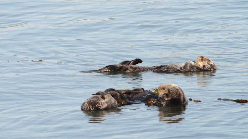 HD Video of many California Sea Otters grooming and playing in shallow ocean waters close to shore. Sea otters spend much of their time grooming. When eating, sea otters roll in the water frequently. #34895182