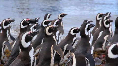 Large Group of Magellanic Penguins Waddling Away on Magdalena Island, Chile