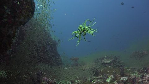 Yellow Crinoid quickly swims in the water column
