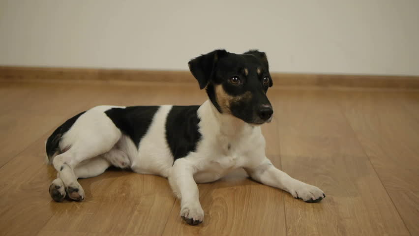 Cute Jack Russell Terrier sitting on floor in room #34945432