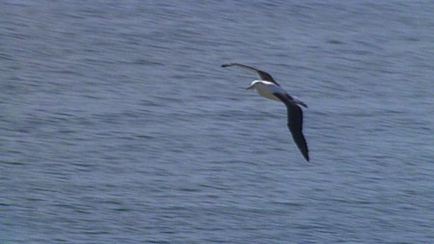 Albatrosses and mollymawks #3496958