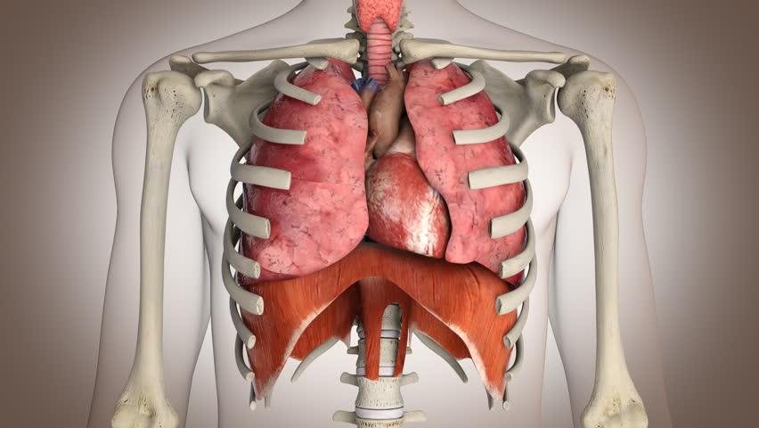 Human internal organs in action - Loop ready | Shutterstock HD Video #3501479