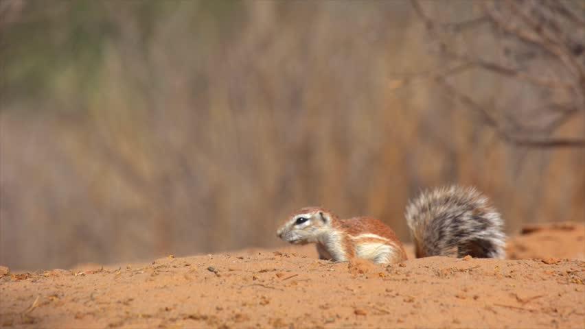 Ground squirrel foraging for food near burrow,Kalahari Desert,South Africa