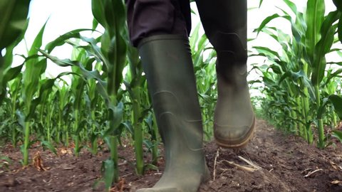 Farmer in rubber boots walking through cultivated corn field and examining maize crop development