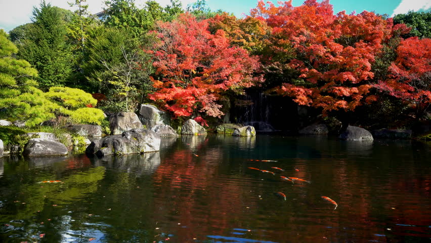 Locked shot with beautiful landscape in Japanese garden, many Koi fish swimming in pond and red maple trees around are swaying with the wind