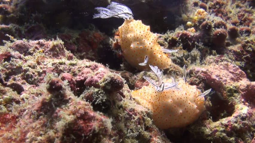 Rare shot of nudibranch mating, including penetration, Clip 3 of 5