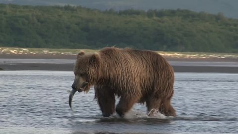 Grizzly Bear ( Ursus Arctos Horribilis) walking with fish in mouth