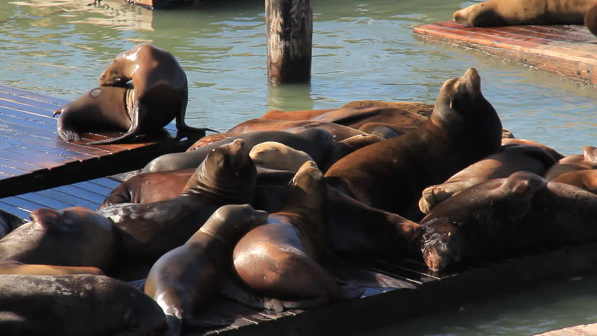 San Fransisco Sea Lions 2. Sea Lions lounging on the docks of Fisherman's Wharf in San Fransisco.