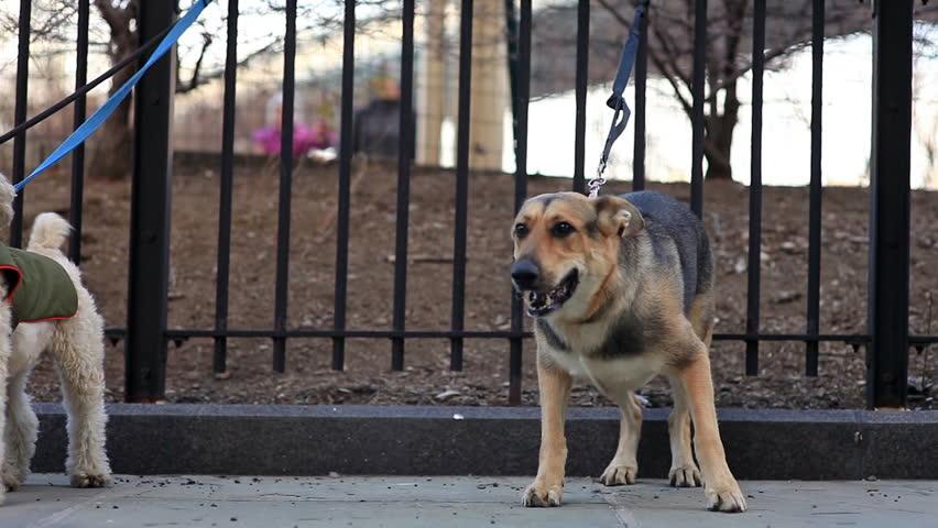 Dog Barking At Gate