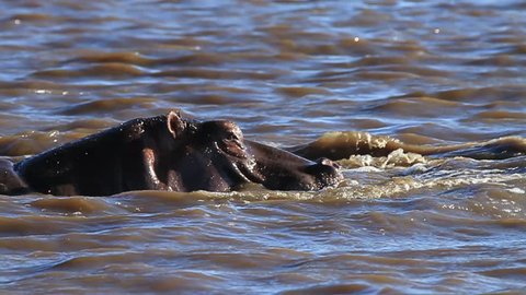 behavioral shot in slow motion of a Hippo (Hippopotamus amphibius) thrashing around in the Sabie River in Kruger National Park, South Africa.