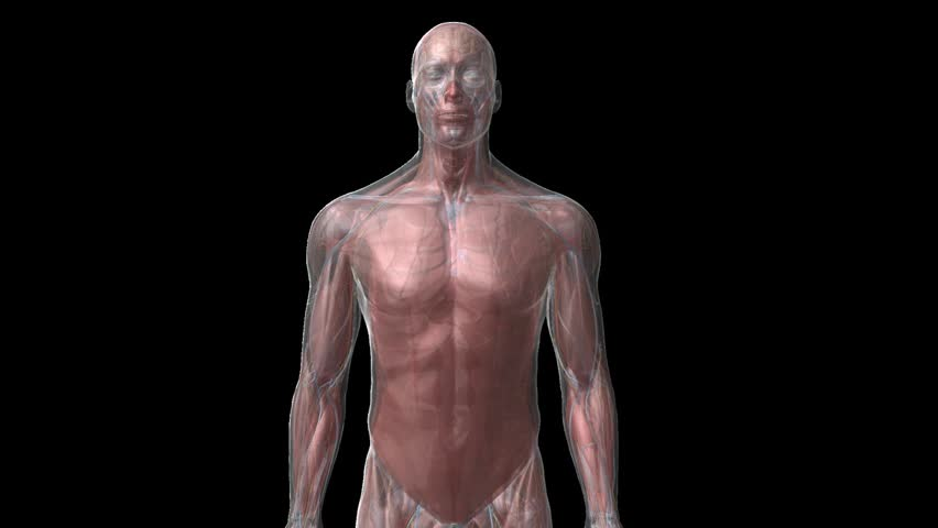 Zoom in to 3D cg human male close up of chest wall thorax see through to lungs and beating heart