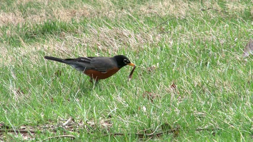 Bird catches a Worm in grass