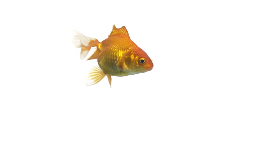 single goldfish animal isolated on white background