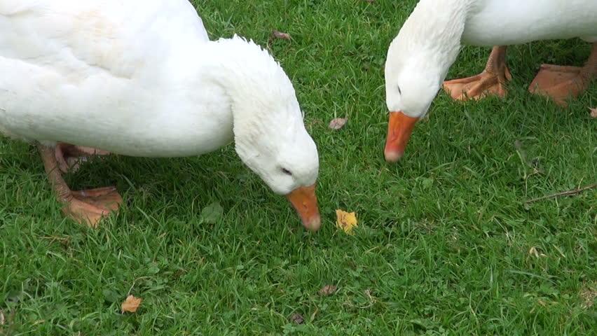 Chickens Eat Watermelon On Lawn Grass 4k Farm Royalty Free Video