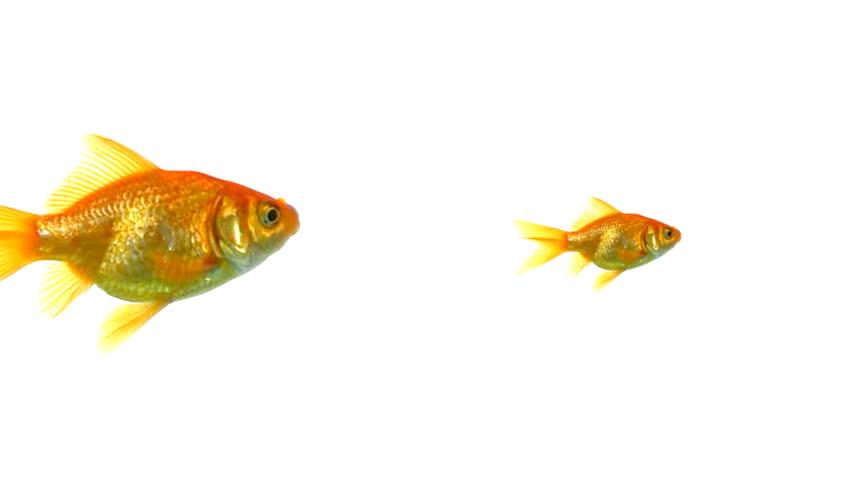Closeup of goldfish swimming | Shutterstock HD Video #3668432