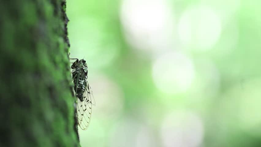 Header of Cicada