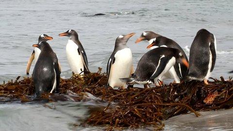 Gentoo penguin colony, Falkland Island