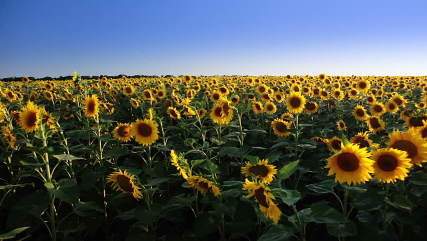 Summer. Blue sky. A field of sunflowers. A dirt road and the bright sun with lens flare