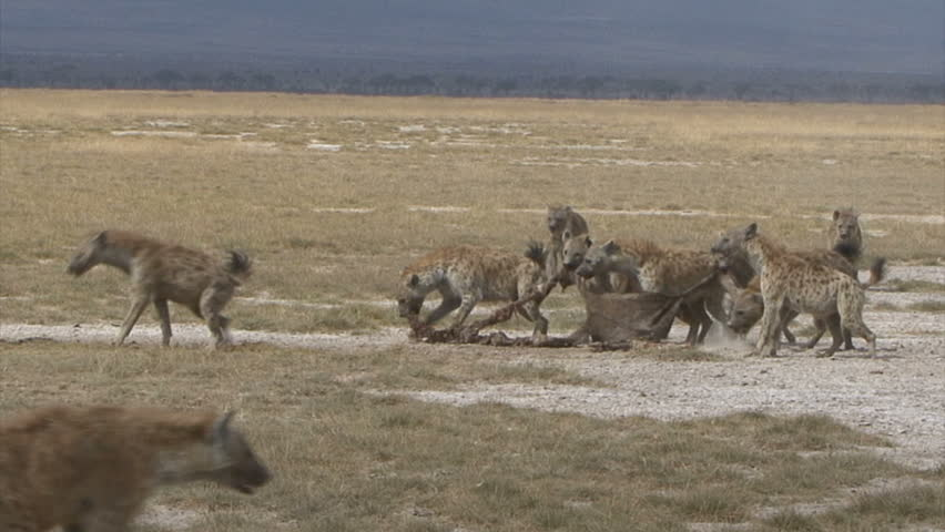A Hyena Pack is aggressive over a Wildebeest skin in Amboseli National Park -